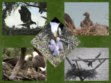 pictures of eaglets from 2008
