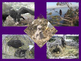 pictures of eaglets from 2011