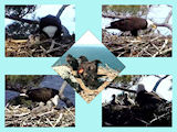 pictures of eaglets from 2012