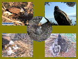 pictures of eaglets from 2015