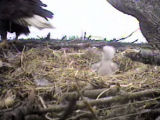 picture of Sidney eaglet from 2007